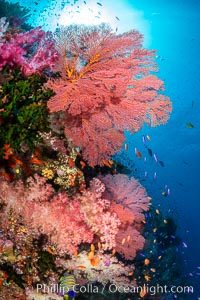 Beautiful South Pacific coral reef, with Plexauridae sea fans, schooling anthias fish and colorful dendronephthya soft corals, Fiji. Fiji, Dendronephthya, Gorgonacea, Pseudanthias, natural history stock photograph, photo id 34716