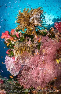Beautiful South Pacific coral reef, with Plexauridae sea fans, schooling anthias fish and colorful dendronephthya soft corals, Fiji. Namena Marine Reserve, Namena Island, Dendronephthya, Gorgonacea, Pseudanthias, natural history stock photograph, photo id 34726