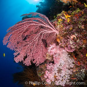 Beautiful South Pacific coral reef, with Plexauridae sea fans, schooling anthias fish and colorful dendronephthya soft corals, Fiji, Dendronephthya, Gorgonacea, Pseudanthias, Namena Marine Reserve, Namena Island