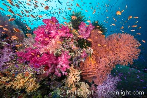Beautiful South Pacific coral reef, with Plexauridae sea fans, schooling anthias fish and colorful dendronephthya soft corals, Fiji. Fiji, Dendronephthya, Gorgonacea, Pseudanthias, natural history stock photograph, photo id 34768