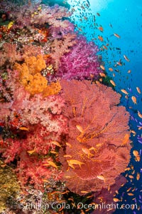 Beautiful South Pacific coral reef, with Plexauridae sea fans, schooling anthias fish and colorful dendronephthya soft corals, Fiji, Dendronephthya, Gorgonacea, Pseudanthias