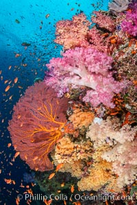 Beautiful South Pacific coral reef, with Plexauridae sea fans, schooling anthias fish and colorful dendronephthya soft corals, Fiji, Dendronephthya, Gorgonacea, Pseudanthias, Vatu I Ra Passage, Bligh Waters, Viti Levu Island