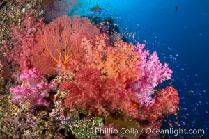 Beautiful South Pacific coral reef, with Plexauridae sea fans, schooling anthias fish and colorful dendronephthya soft corals, Fiji. Fiji, Dendronephthya, Gorgonacea, Pseudanthias, natural history stock photograph, photo id 34820