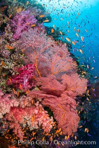 Beautiful South Pacific coral reef, with Plexauridae sea fans, schooling anthias fish and colorful dendronephthya soft corals, Fiji. Fiji, Dendronephthya, Gorgonacea, Pseudanthias, natural history stock photograph, photo id 34853