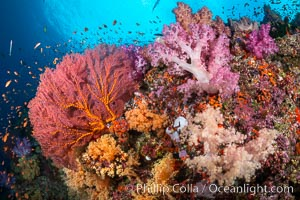 Beautiful South Pacific coral reef, with Plexauridae sea fans, schooling anthias fish and colorful dendronephthya soft corals, Fiji. Vatu I Ra Passage, Bligh Waters, Viti Levu Island, Fiji, Dendronephthya, Gorgonacea, Pseudanthias, natural history stock photograph, photo id 34972