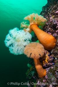 Plumose Anemone, Metridium farcimen, Hornby Island, British Columbia, Metridium farcimen