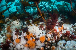 Plumose anemones and Bull Kelp on British Columbia marine reef, Browning Pass, Vancouver Island, Canada. British Columbia, Canada, Metridium senile, Nereocystis luetkeana, natural history stock photograph, photo id 34349