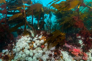 Plumose anemones and Bull Kelp on British Columbia marine reef, Browning Pass, Vancouver Island, Canada., Metridium senile, Nereocystis luetkeana, natural history stock photograph, photo id 34384