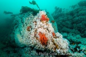Plumose anemones and pink soft corals,  Browning Pass, Vancouver Island, Canada, Gersemia rubiformis, Metridium senile