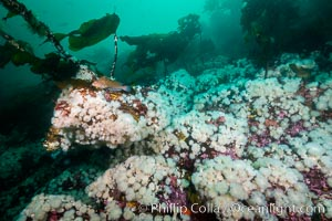 Plumose anemones cover the ocean reef, Browning Pass, Vancouver Island, Canada, Metridium senile