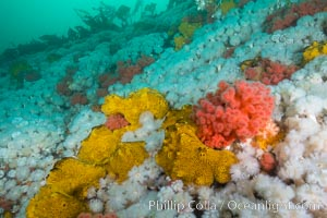 Rich invertebrate life on British Columbia marine reef. Plumose anemones, yellow sulphur sponges and pink soft corals,  Browning Pass, Vancouver Island, Canada., Gersemia rubiformis, Metridium senile, Halichondria panicea, natural history stock photograph, photo id 34451