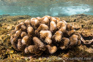 Pocillopora coral head, Napili, Maui, Hawaii