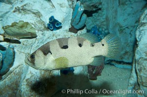 Spotted soapfish., Pogonoperca punctata, natural history stock photograph, photo id 11841