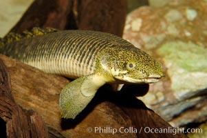 Bichir, Polypterus