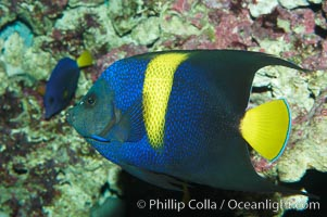 Arabian angelfish., Pomacanthus asfur, natural history stock photograph, photo id 08651