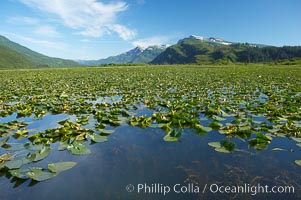 Pond covered with water lilys, near Silver Salmon Creek. Lake Clark National Park, Alaska, USA, natural history stock photograph, photo id 19093