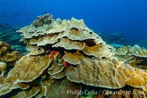 Plates of Porites arnaudi coral, Clipperton Island. Clipperton Island, France, Porites arnaudi, natural history stock photograph, photo id 32999