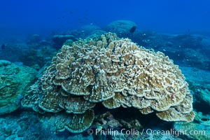 Plates of Porites arnaudi coral, Clipperton Island, Porites arnaudi