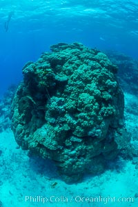 Enormous pristine 1000-year-old Porites coral head, boulder coral, Fiji, Wakaya Island, Lomaiviti Archipelago