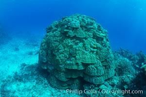 Enormous pristine 1000-year-old Porites coral head, boulder coral, Fiji. Wakaya Island, Lomaiviti Archipelago, Fiji, natural history stock photograph, photo id 31760