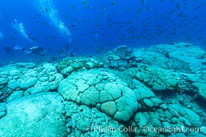 Image 32963, Coral reef expanse composed primarily of porites lobata, Clipperton Island, near eastern Pacific. Clipperton Island, France, Porites lobata