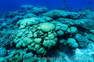 Coral reef expanse composed primarily of porites lobata, Clipperton Island, near eastern Pacific. Clipperton Island, France, Porites lobata, natural history stock photograph, photo id 32987