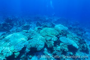 Coral reef expanse composed primarily of porites lobata, Clipperton Island, near eastern Pacific. France, Porites lobata, natural history stock photograph, photo id 33006