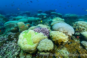 Coral reef expanse composed primarily of porites lobata, Clipperton Island, near eastern Pacific. Clipperton Island, France, Porites lobata, natural history stock photograph, photo id 33039
