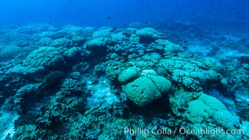 Coral reef expanse composed primarily of porites lobata, Clipperton Island, near eastern Pacific. France, Porites lobata, natural history stock photograph, photo id 33050