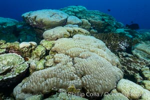 Coral reef expanse composed primarily of porites lobata, Clipperton Island, near eastern Pacific. Clipperton Island, France, Porites lobata, natural history stock photograph, photo id 33052