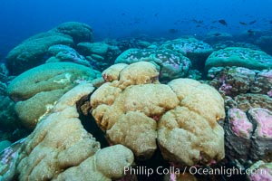 Coral reef expanse composed primarily of porites lobata, Clipperton Island, near eastern Pacific. France, Porites lobata, natural history stock photograph, photo id 33058
