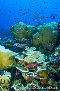 Coral reef of Porites sp., Porites lobata (rounded) and Porites arnaudi (platelike) comprise coral reef at Clipperton Island. France, Porites lobata, Porites arnaudi, natural history stock photograph, photo id 32978