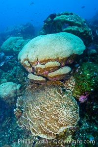 Coral reef of Porites sp., Porites lobata (rounded) and Porites arnaudi (platelike) comprise coral reef at Clipperton Island. France, Porites lobata, Porites arnaudi, natural history stock photograph, photo id 33060