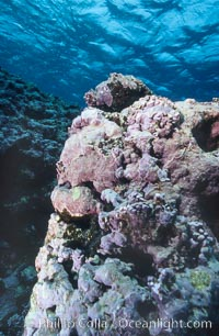 Pink coralline algae. Rose Atoll National Wildlife Sanctuary, American Samoa, USA, Porolithon, natural history stock photograph, photo id 00760