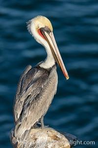 Portrait of the California Race of the Brown Pelican, La Jolla, California., natural history stock photograph, photo id 36608
