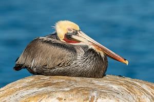 Portrait of the California Race of the Brown Pelican, La Jolla, California