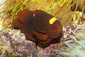 Spinecheek clownfish (maroon clownfish), Premnas biaculeatus