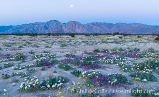 Dune evening primrose (white) and sand verbena (purple) mix in beautiful wildflower bouquets during the spring bloom in Anza-Borrego Desert State Park. Borrego Springs, California, USA, Oenothera deltoides, Abronia villosa, natural history stock photograph, photo id 30500