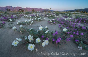 Dune evening primrose (white) and sand verbena (purple) mix in beautiful wildflower bouquets during the spring bloom in Anza-Borrego Desert State Park. Anza-Borrego Desert State Park, Borrego Springs, California, USA, Oenothera deltoides, Abronia villosa, natural history stock photograph, photo id 30502