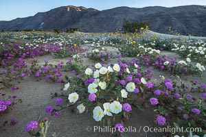 Image 30507, Dune evening primrose (white) and sand verbena (purple) mix in beautiful wildflower bouquets during the spring bloom in Anza-Borrego Desert State Park. Borrego Springs, California, USA, Oenothera deltoides, Abronia villosa, Phillip Colla, all rights reserved worldwide.   Keywords: abronia villosa:anza borrego:anza borrego desert state park:anza borrego desert state park:borrego springs:california:desert:desert wildflower:dune evening primrose:dune primrose:flower:landscape:nature:oenothera deltoides:outdoors:outside:plant:sand verbena:scene:scenic:state parks:usa:wildflower:primrose.