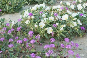 Dune evening primrose (white) and sand verbena (purple) mix in beautiful wildflower bouquets during the spring bloom in Anza-Borrego Desert State Park. Borrego Springs, California, USA, Oenothera deltoides, Abronia villosa, natural history stock photograph, photo id 30528