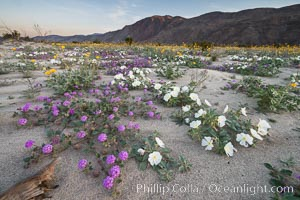 Dune evening primrose (white) and sand verbena (purple) mix in beautiful wildflower bouquets during the spring bloom in Anza-Borrego Desert State Park, Abronia villosa, Oenothera deltoides, Borrego Springs, California