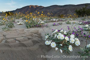 Dune evening primrose (white) and sand verbena (purple) mix in beautiful wildflower bouquets during the spring bloom in Anza-Borrego Desert State Park. Borrego Springs, California, USA, Oenothera deltoides, Abronia villosa, natural history stock photograph, photo id 30540