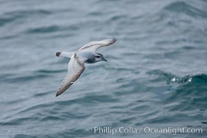 Prion in flight, Pachyptila, Scotia Sea