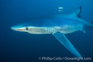 Blue shark. San Diego, California, USA, Prionace glauca, natural history stock photograph, photo id 00288