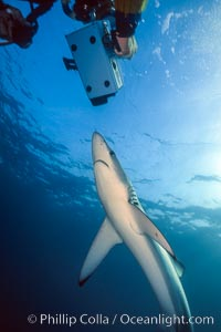 Blue shark and underwater cameraman, Prionace glauca, San Diego, California