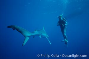 Blue shark. San Diego, California, USA, Prionace glauca, natural history stock photograph, photo id 01005