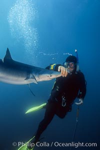 Blue shark and shark wrangler, San Diego, Prionace glauca
