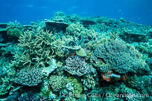 Pristine coral reef composed of many species of hard corals, 20' (7m) deep, Fiji. Wakaya Island, Lomaiviti Archipelago, Fiji, natural history stock photograph, photo id 31746
