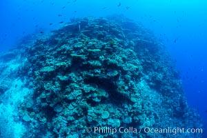 Pristine coral reef composed of many species of hard corals, 60' (20m) deep, Fiji, Wakaya Island, Lomaiviti Archipelago